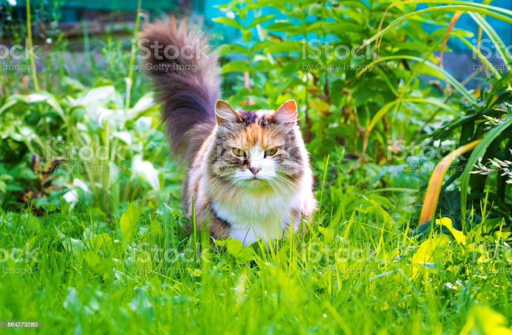 beautiful serious cat looking at the camera, outdoors in a park on green grass royalty-free stock photo