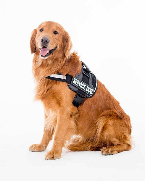 Beautiful service dog picture id518246510?b=1&k=6&m=518246510&s=612x612&w=0&h=kvbjzethysr4hq lokj6lkr3qjsgroceqjsd4xgvano=