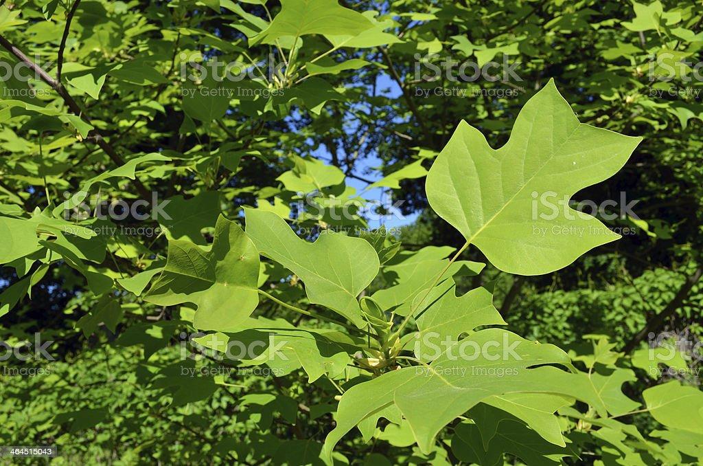 Beautiful Shape Decorative Maple Tree Green Leaves Stock Photo