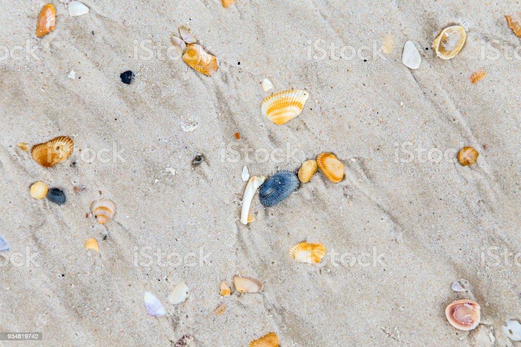 아름다운 쉘은 모랫빛 플라주 - 로열티 프리 껍데기 스톡 사진
