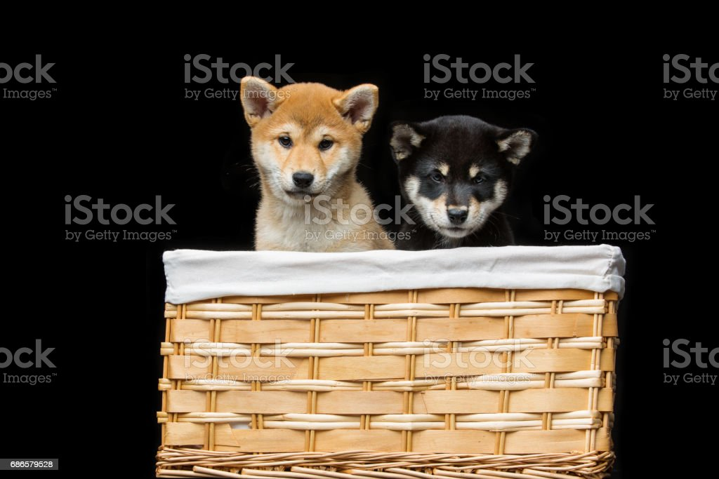 Beautiful shiba inu puppies in basket royalty-free stock photo