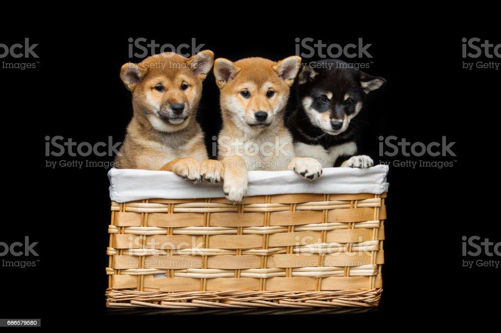 Beautiful shiba inu puppies in basket foto stock royalty-free
