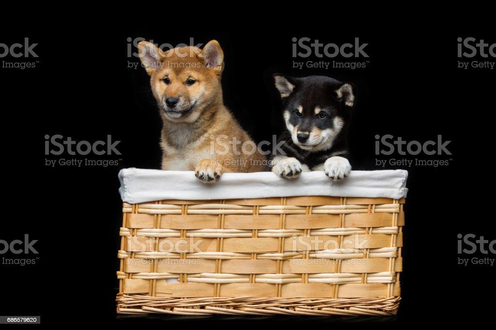 Prachtige shiba inu pups in mand royalty free stockfoto