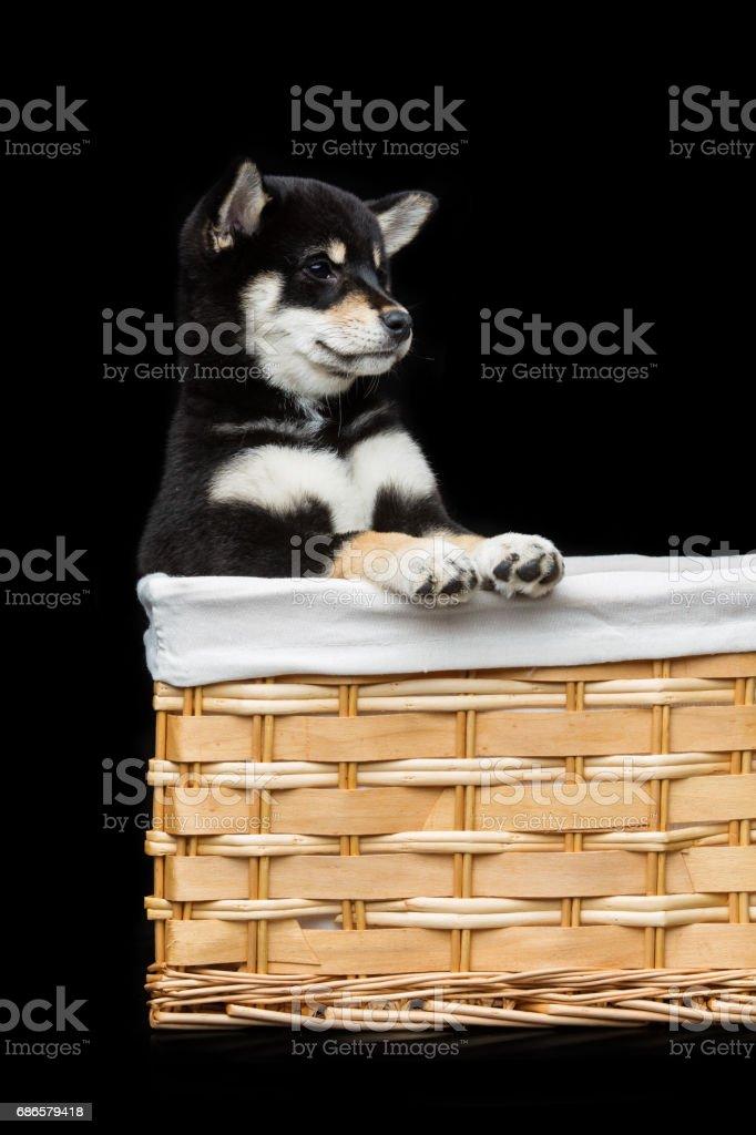 Beautiful shiba inu puppy in basket zbiór zdjęć royalty-free