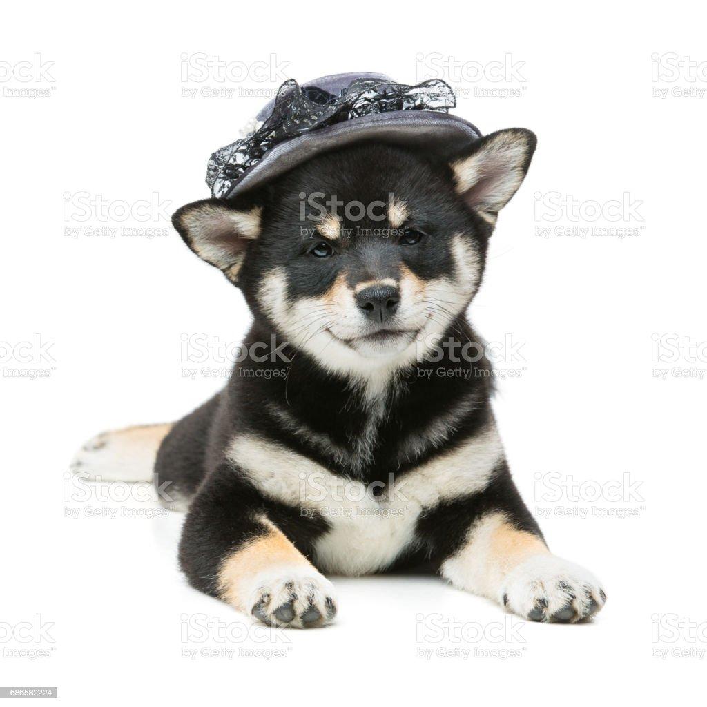 Beautiful shiba inu puppy in grey hat photo libre de droits