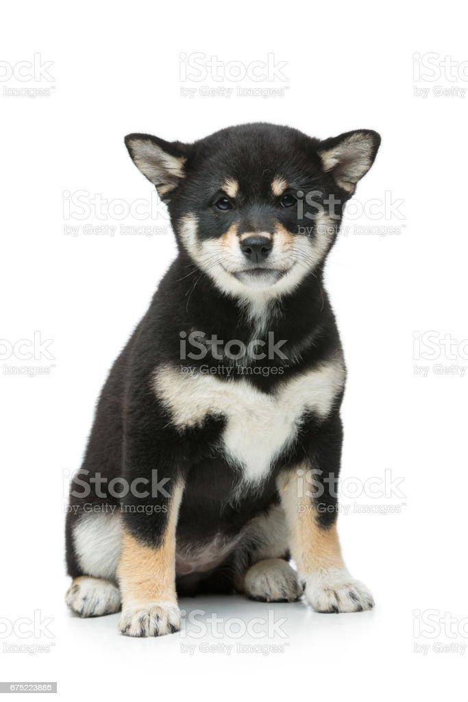 Beautiful shiba inu puppy isolated on white royalty-free stock photo