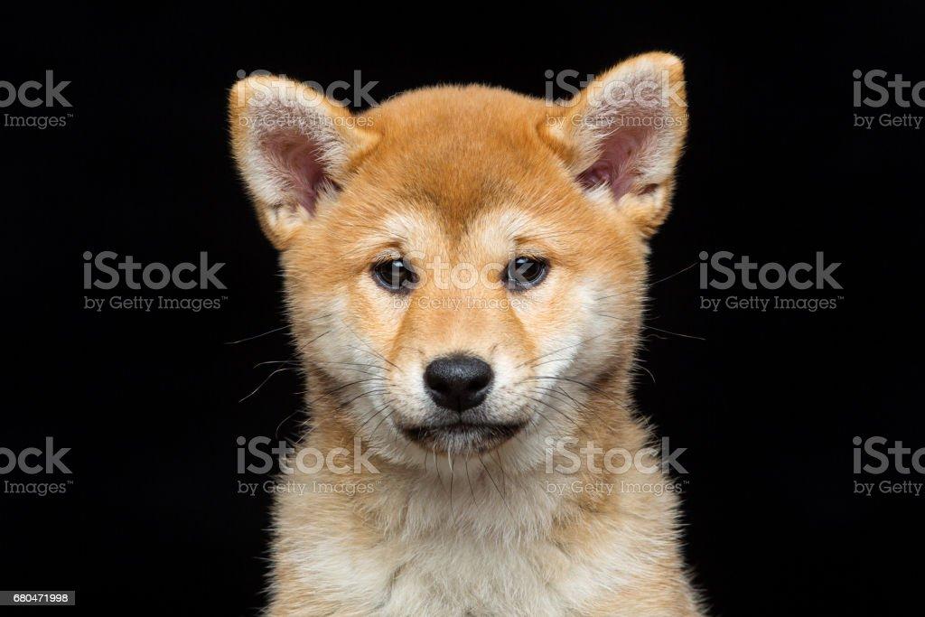 Beautiful Shiba Inu Puppy Stock Photo Download Image Now Istock
