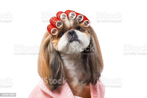 Beautiful shihtzu dog at the groomers hands with comb picture id843819964?b=1&k=6&m=843819964&s=612x612&h=jdycv2wp286qzd7xwublrgqlz892ezopvenjxnu4ati=
