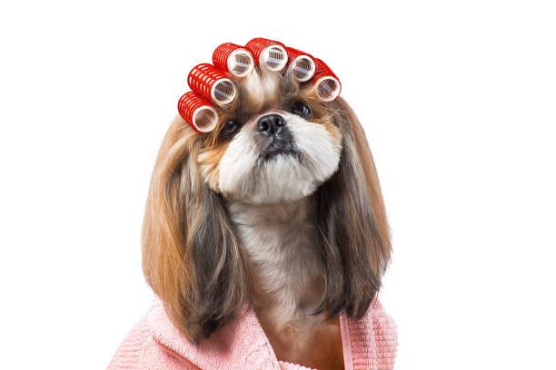 Wunderschöne Shih-Tzu Hund auf der Groomer Hände mit Kamm. – Foto