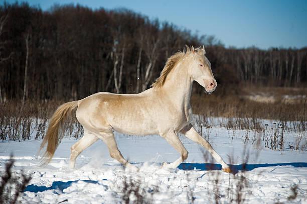 schöne leuchtende perlino akhal-teke hengst im schnee - akhal teke stock-fotos und bilder