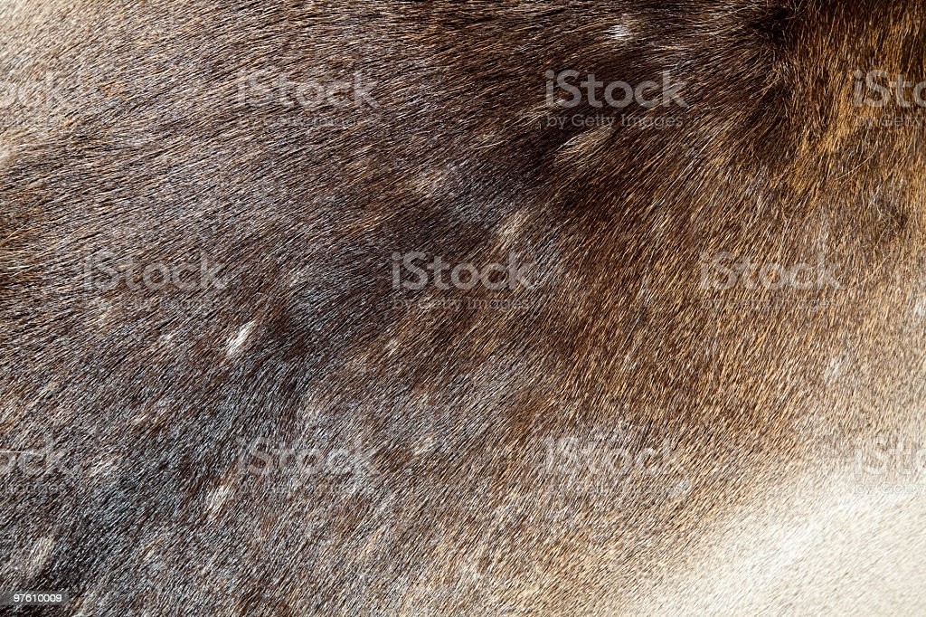 Beautiful shiny Coat of Fallow Deer Dama-dama royaltyfri bildbanksbilder