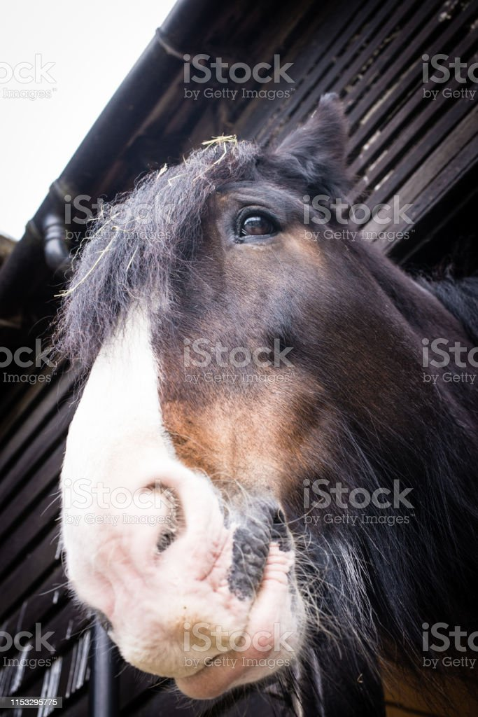 Beautiful Shire breed British black brown and white horse head nose...