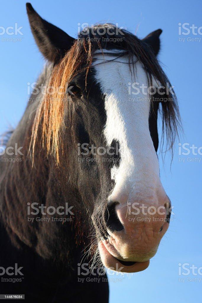 Beautiful Shire Or Draft Horse Stock Photo Download Image Now Istock
