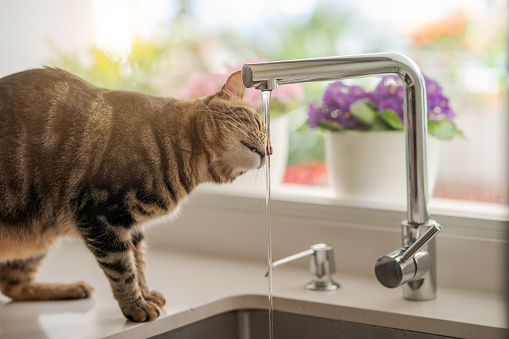 istock Beautiful short hair cat at home 1097573810
