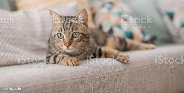 Beautiful short hair cat at home picture id1097573918?b=1&k=6&m=1097573918&s=612x612&h=zp5cg8g ae 5bgoiu 1l38dkjygyjrwr ph8vrtopi0=
