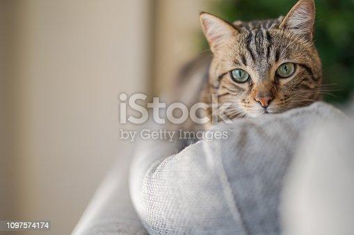 istock Beautiful short hair cat at home 1097574174