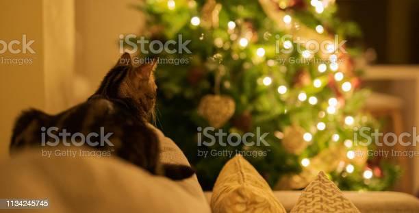 Beautiful short hair cat at home picture id1134245745?b=1&k=6&m=1134245745&s=612x612&h=5hdawzrxajf07jwq7ievqtrzms8wlatmmgyzqd8zicg=