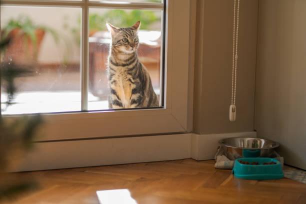Beautiful short hair cat at home picture id1167514297?b=1&k=6&m=1167514297&s=612x612&w=0&h=m2khymxnqotjerobmwur k nxleqtyx9qzjkpo04afa=