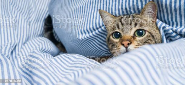 Beautiful short hair cat at home picture id1167516085?b=1&k=6&m=1167516085&s=612x612&h=whukgnthcfm0l6afi0awymwb7fknboz6aaknxwc0a3k=