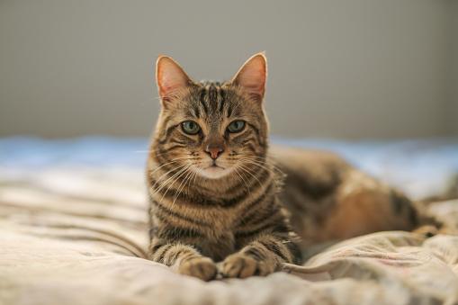 istock Beautiful short hair cat 1143489763