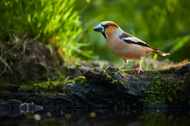 A beautiful shot of a bird with a big beak. The hawfinch (Coccothraustes coccothraustes) by the water. Wildlife photo from Czech republic stock photo