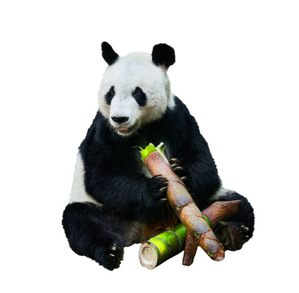 Beautiful shot of a Giant panda (Ailuropoda melanoleuca) or Panda Bear. Sitting bear eating a large piece of bamboo. Endangered animal on white background. stock photo