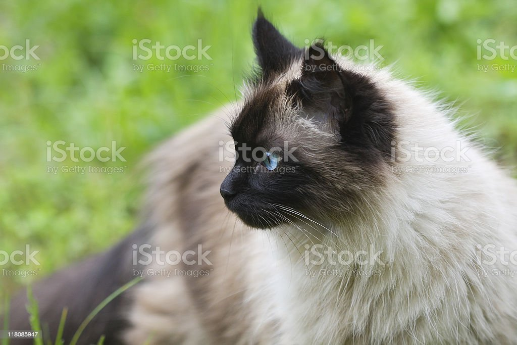Beautiful Siamese cat outside in green grass stock photo