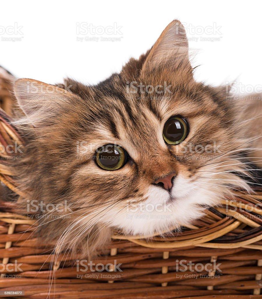Beautiful siberian cat royalty-free stock photo