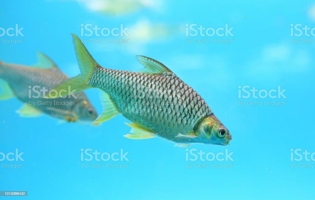 Beautiful Silver barb swimming in aquarium. stock photo