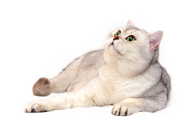 Beautiful silver British cat with green eyes and pink nose lies in front of the camera stock photo