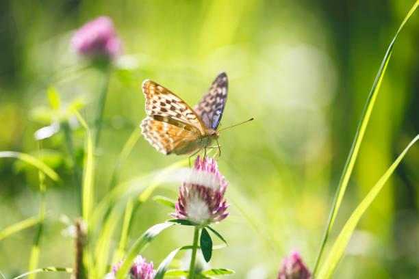 Beautiful silverwashed fritillary argynnis paphia butterfly on a in picture id1134850618?b=1&k=6&m=1134850618&s=612x612&w=0&h=ivj8y6ghnu7cfagbxpnsise8zebykbiqma5ywmy9rmo=