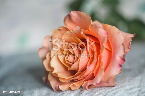 Beautiful single apricot rose on a blurred gray background. Tea rose photo.