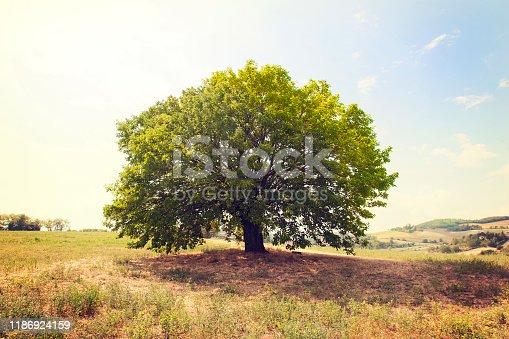 Beautiful single beech tree in remote position in meadow