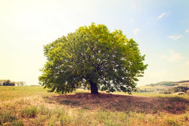 Beautiful single beech tree in remote position in meadow - foto stock