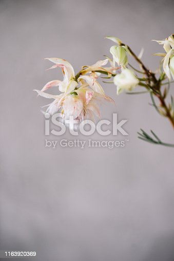 Beautiful single Brunia blushing bride flower on the grey wall background, close up view