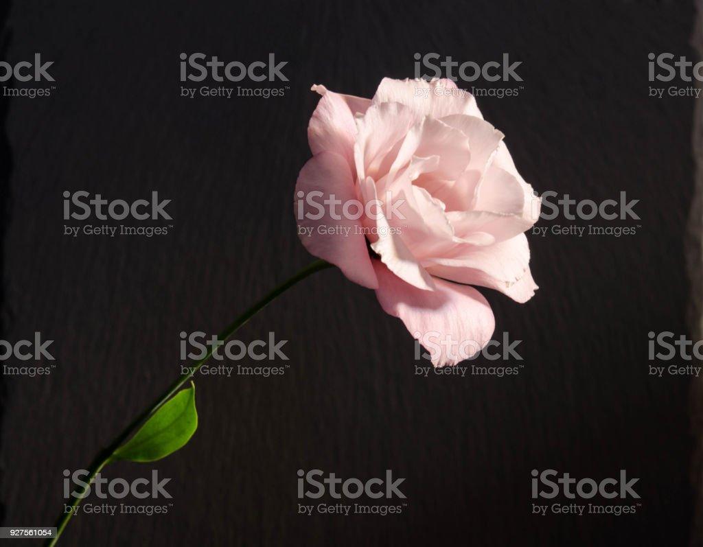 Beautiful Single Eustoma Flower On Dark Background Stock Photo