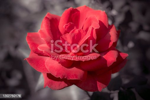155139080istockphoto Beautiful single of a big red rose flower on a dark background 1202750176