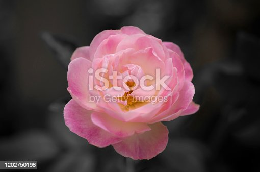 155139080istockphoto Beautiful single of a pink rose flower on a dark background, soft and romantic pastel colors 1202750198