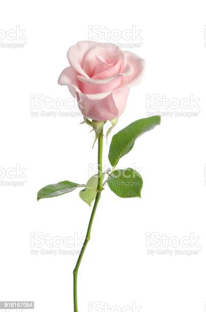 Beautiful single pink rose isolated on white background picture id916167054?b=1&k=6&m=916167054&s=612x612&h=gkz59zib6 ci x2xq7fbn7utb0g4 o4em6cnhw9r65w=