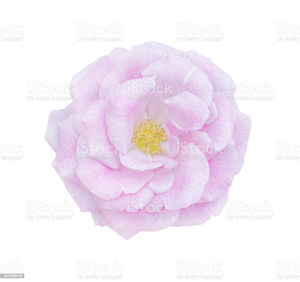 Beautiful Single Pink Rose Isolated Stock Photo More Pictures Of