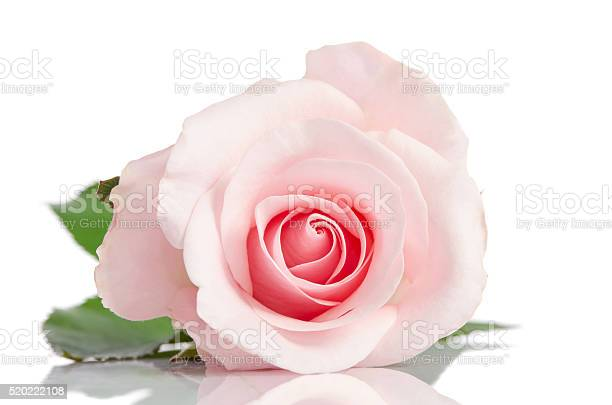 Free single pink rose images pictures and royalty free stock beautiful single pink rose lying down on a white background mightylinksfo