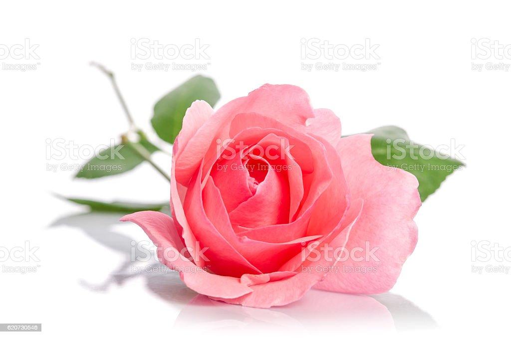Magnifique une rose rose vous allongeant sur fond blanc - Photo