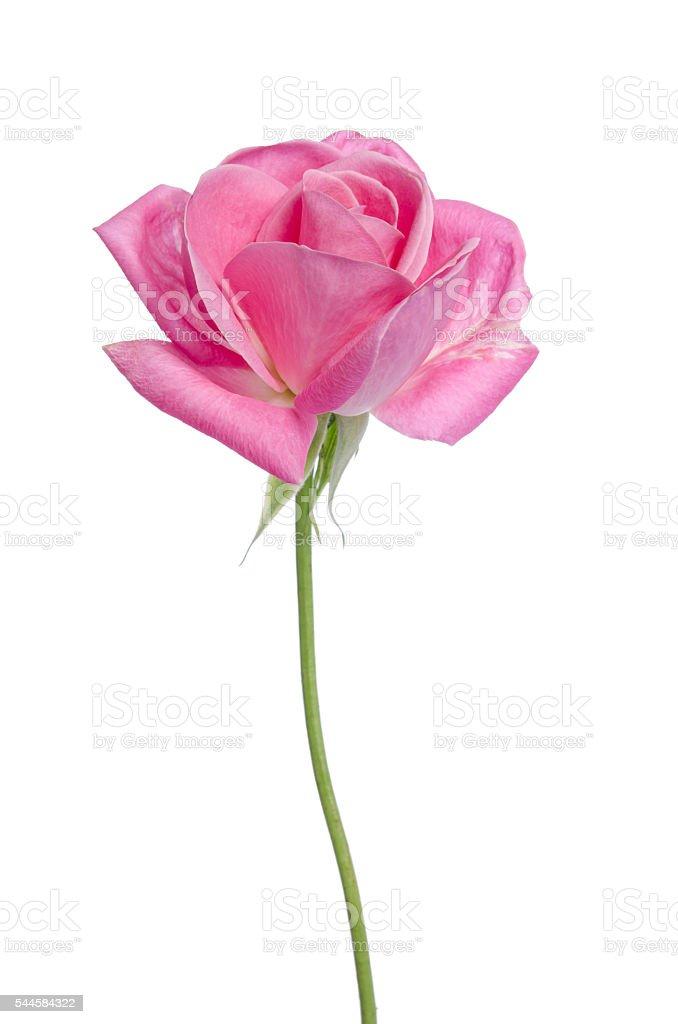 Beautiful single pink rose on a white background stock photo more beautiful single pink rose on a white background royalty free stock photo mightylinksfo