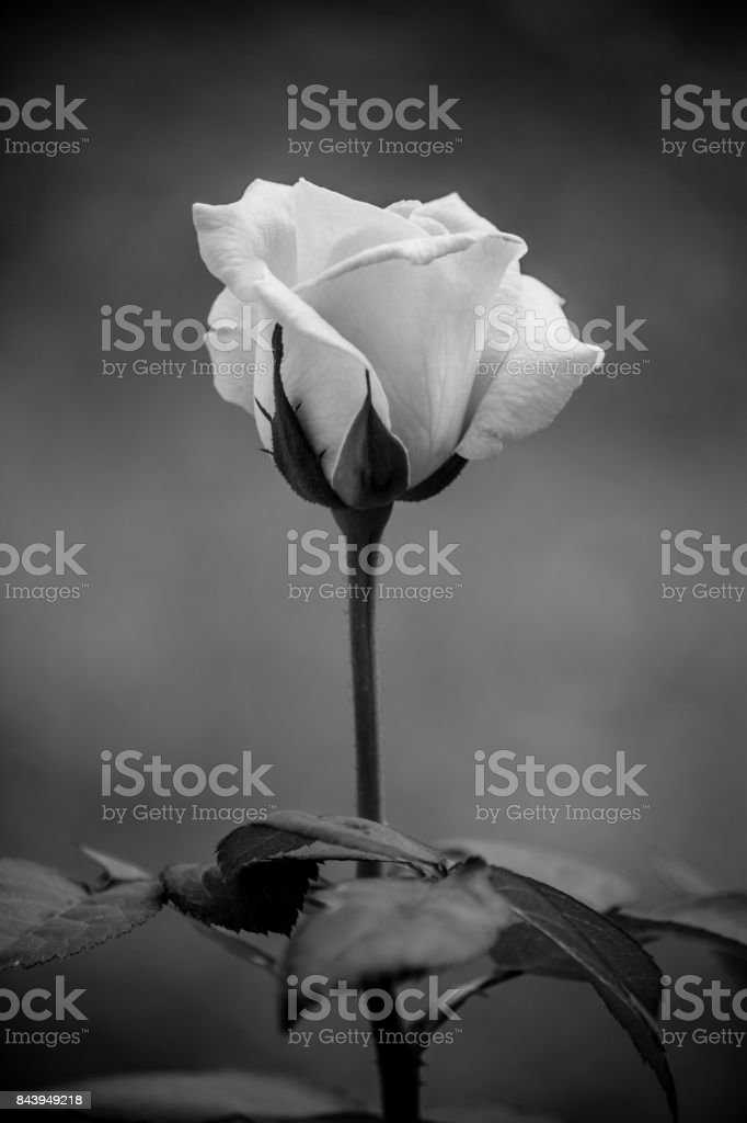 Beautiful single rose. stock photo