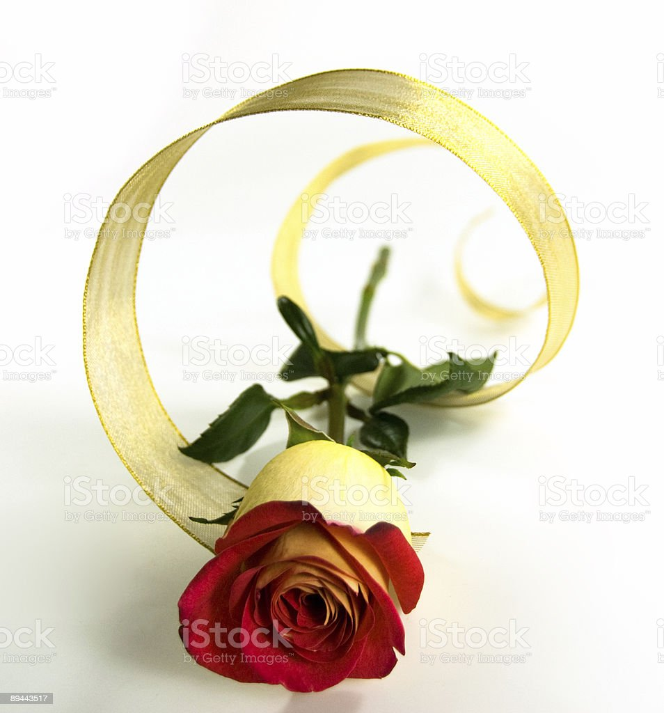 Beautiful Single Rose with Golden Ribbon royalty-free stock photo