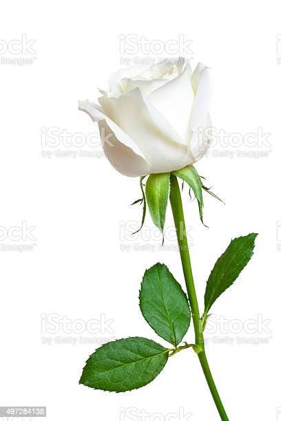 Beautiful single white rose picture id497284138?b=1&k=6&m=497284138&s=612x612&h=am6afxq8x8msmbap33ycyyn2nk3kbha yanwd6z3vkm=