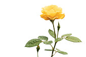 Beautiful single yellow rose with water drops on white background.