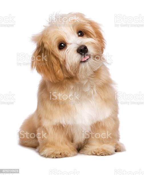 Beautiful sitting reddish havanese puppy dog is looking upward picture id525220523?b=1&k=6&m=525220523&s=612x612&h=ulxhcmifsaxdhqfb wm34jccx8kqtyord yk2nvbqnc=