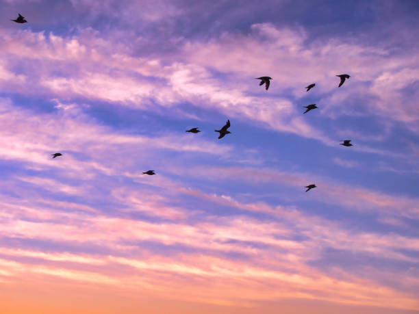 Beautiful sky on sunset or sunrise with flying birdsl. Background Birds flying in the cloudy sunset sky. stock photo