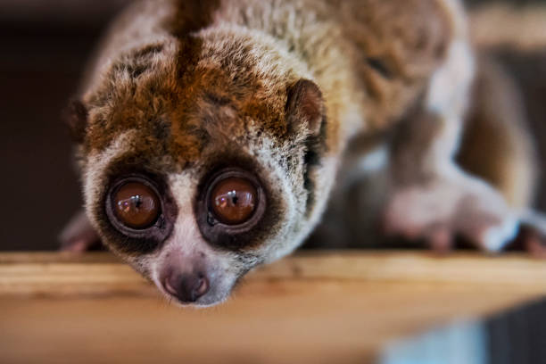 beautiful Slow Loris. slow loris is now among the world top 25 most endangered primates its taken from the wild to sell as pets at cruel animal markets stock photo